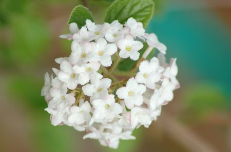 korean spice viburnum shrub the fragrant spicebush