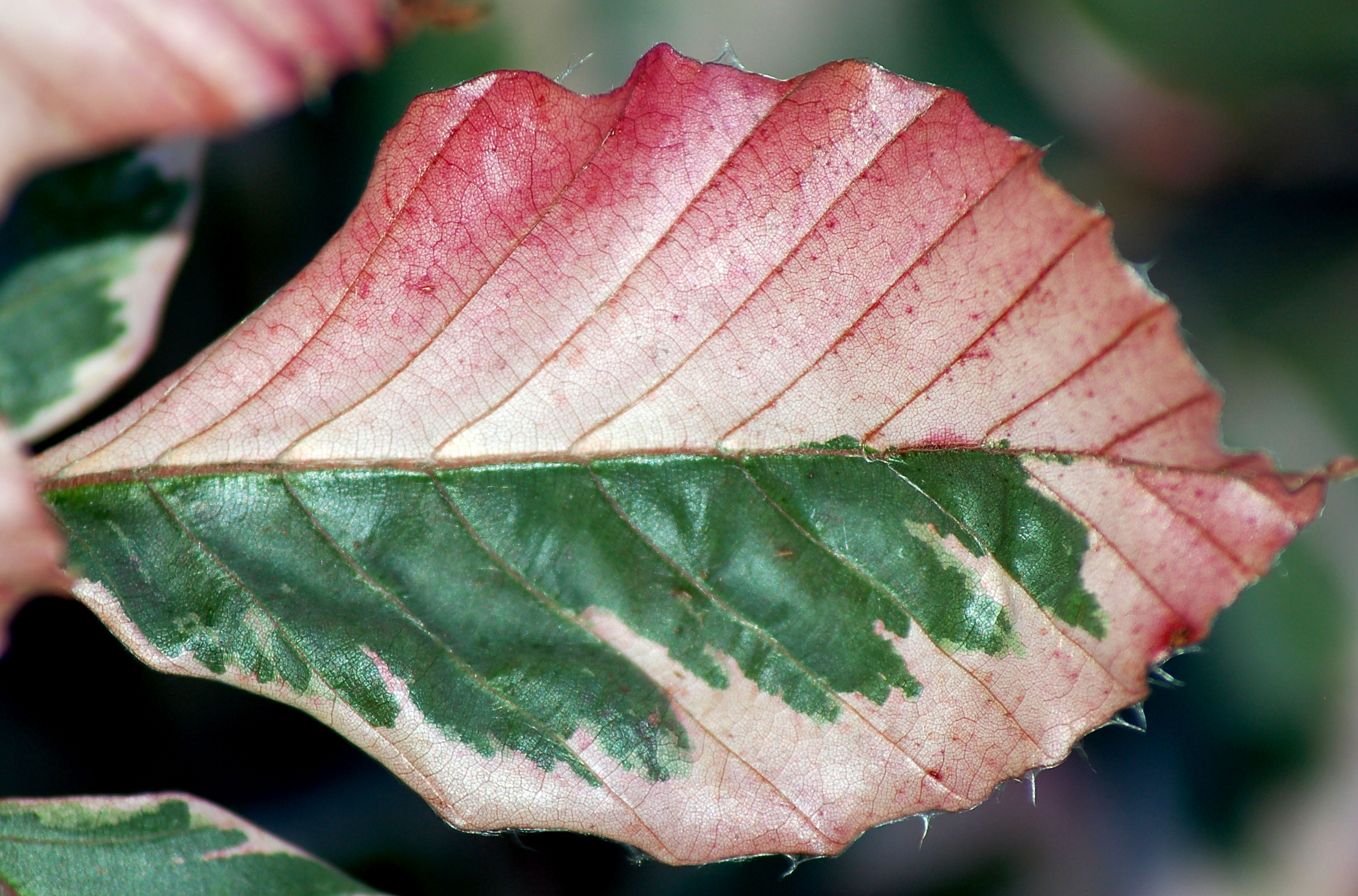 Variegated Leaves: Pictures of Bi-Colored Plants