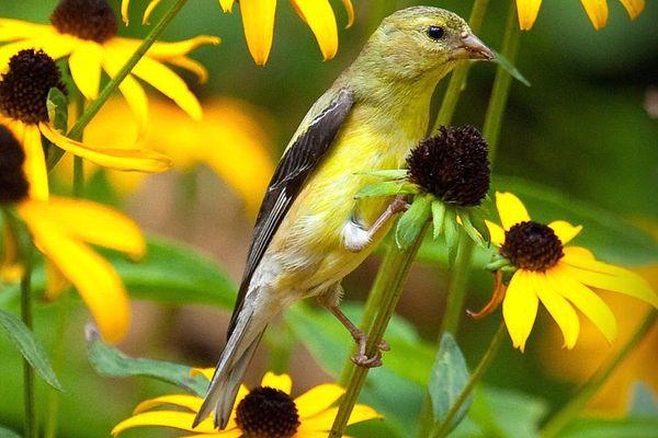 Lesser Goldfinch on Flower