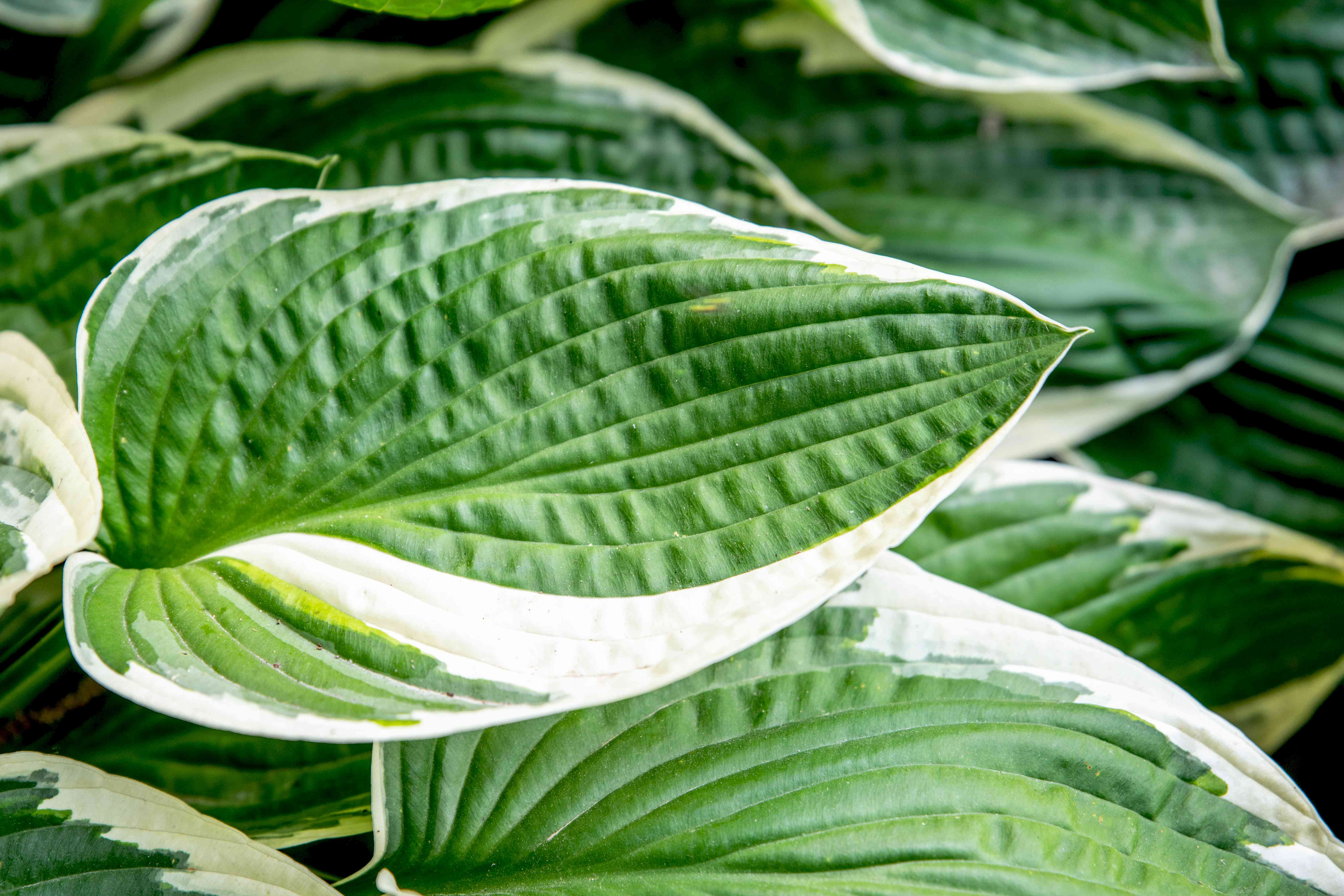 Francee hosta plant with large white and green variegated leaf closeup