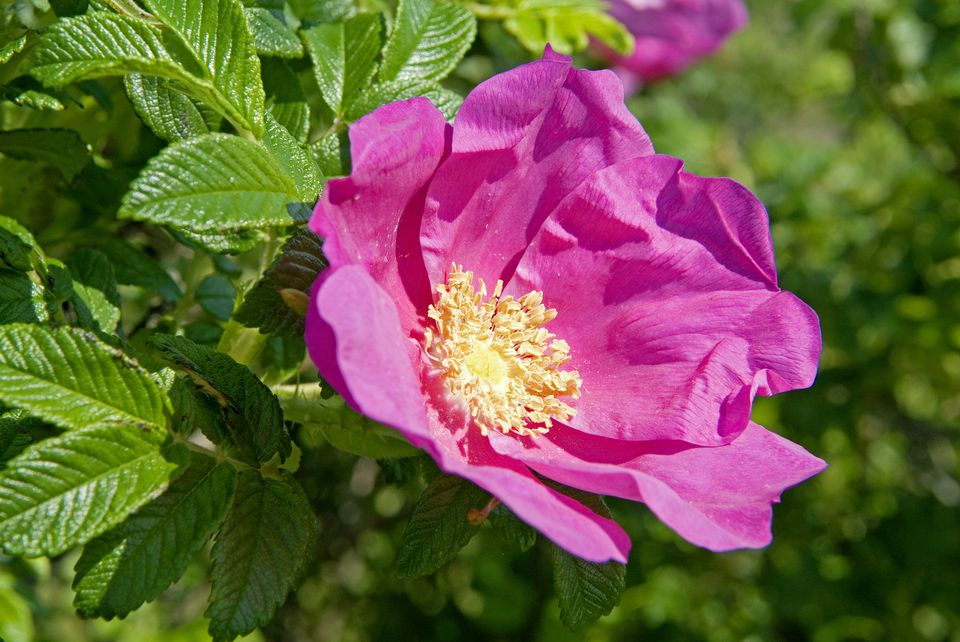 Closeup of pink Rosa rugosa flower.