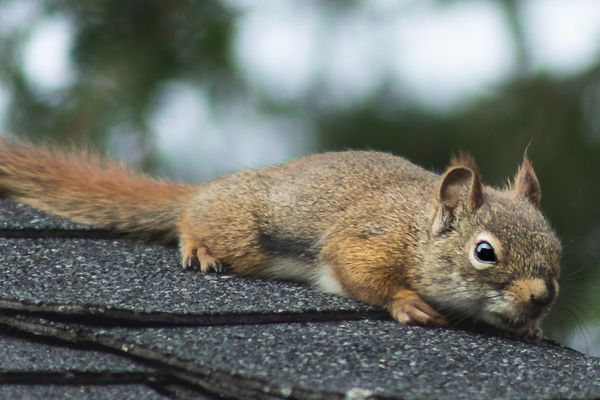 Squirrel laying on top of roof closeup