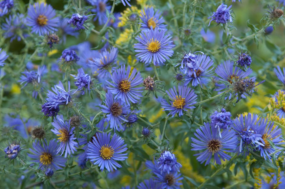 Filler flowers for wedding bouquets blue new england aster mightylinksfo