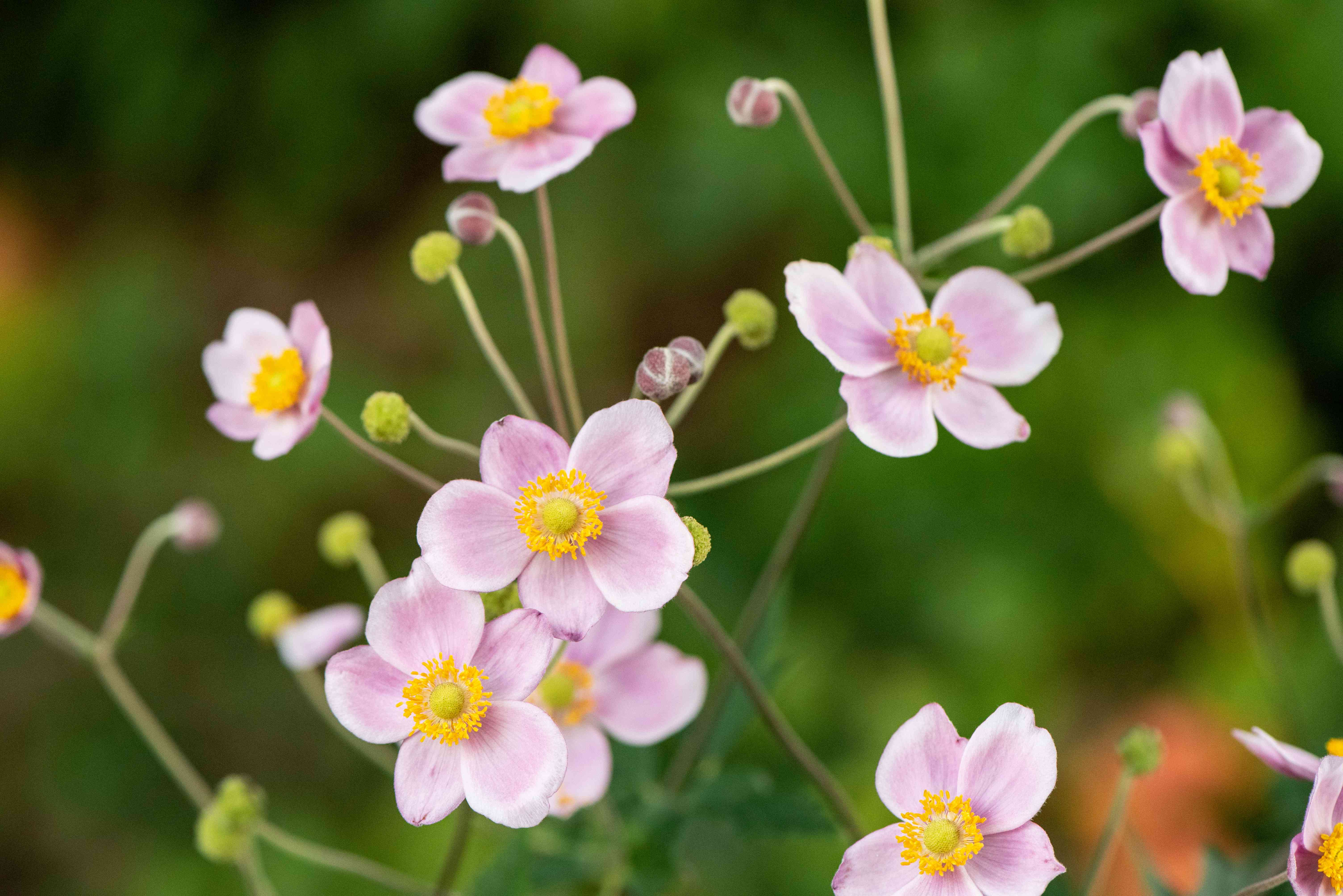 Rue anemone plant with light pink and white flowers and buds on thin stems