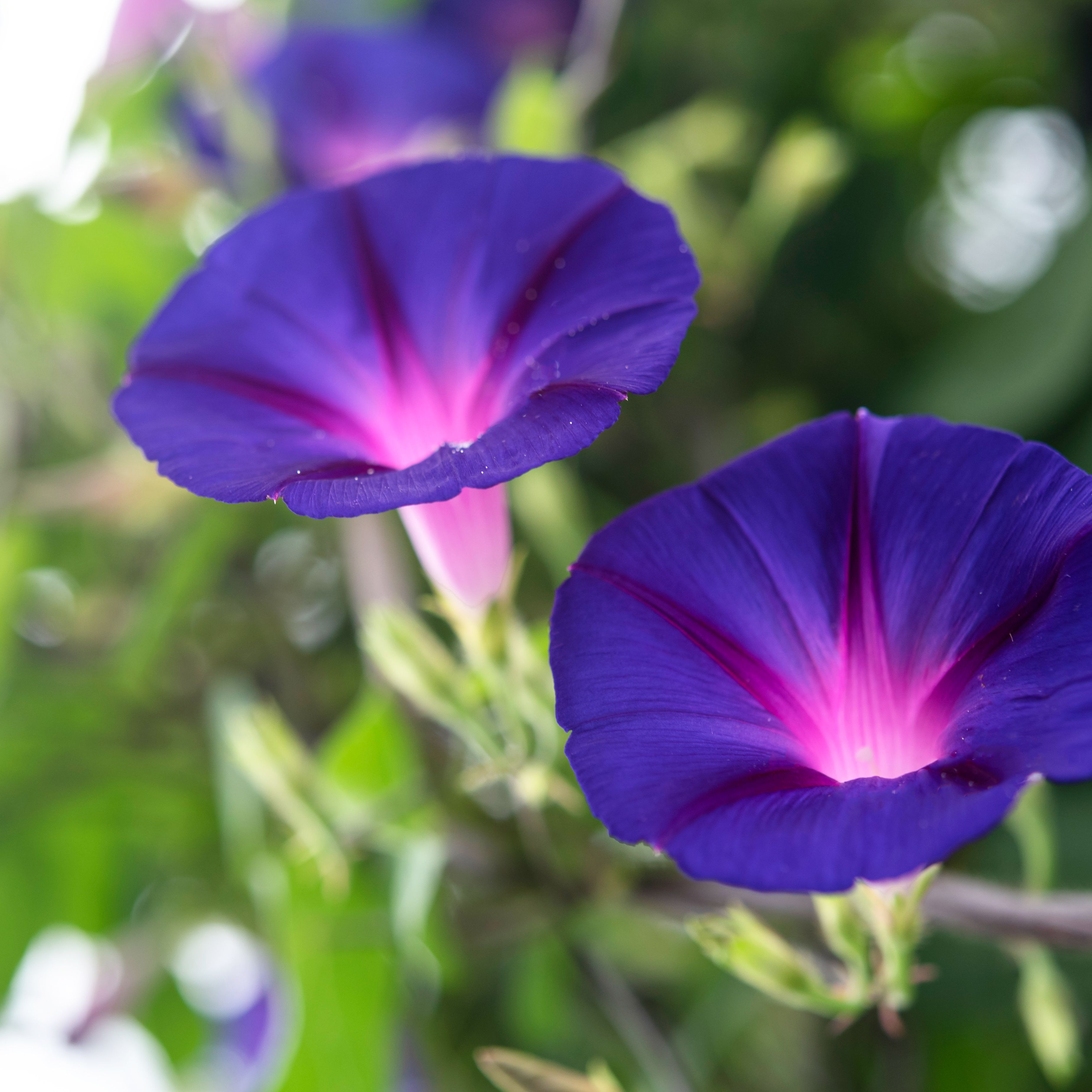 Morning Glory: Plant Care