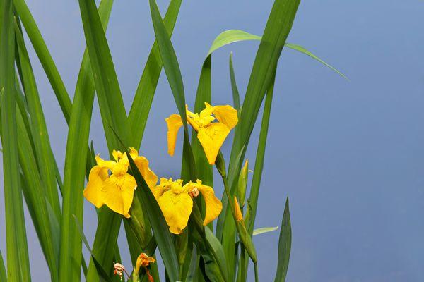 Yellow irises with long narrow leaves closeup