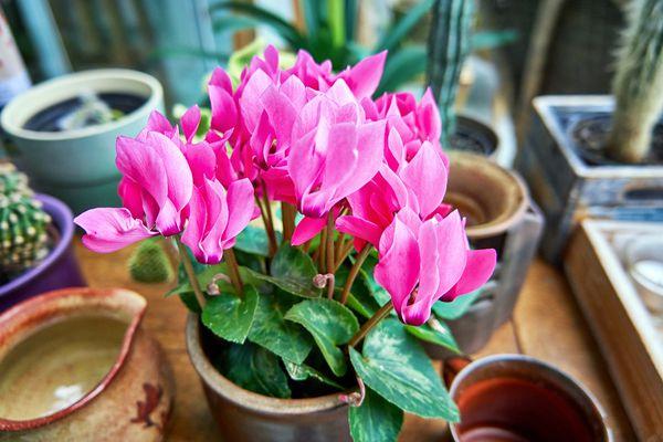 Mini Cyclamen (Cyclamen persicum) plant in pot
