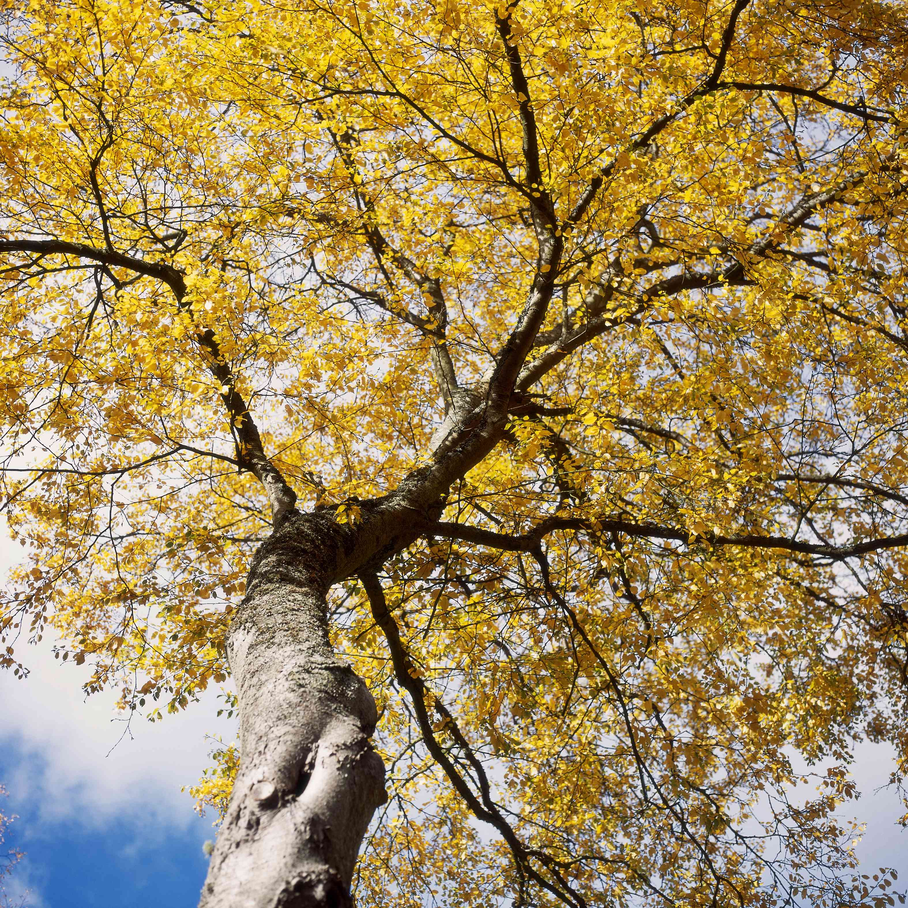Betula lenta (sweet birch) in autumn colour against a blue sky, hergest croft garden, october