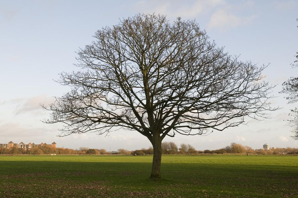 Maple tree in an open field.