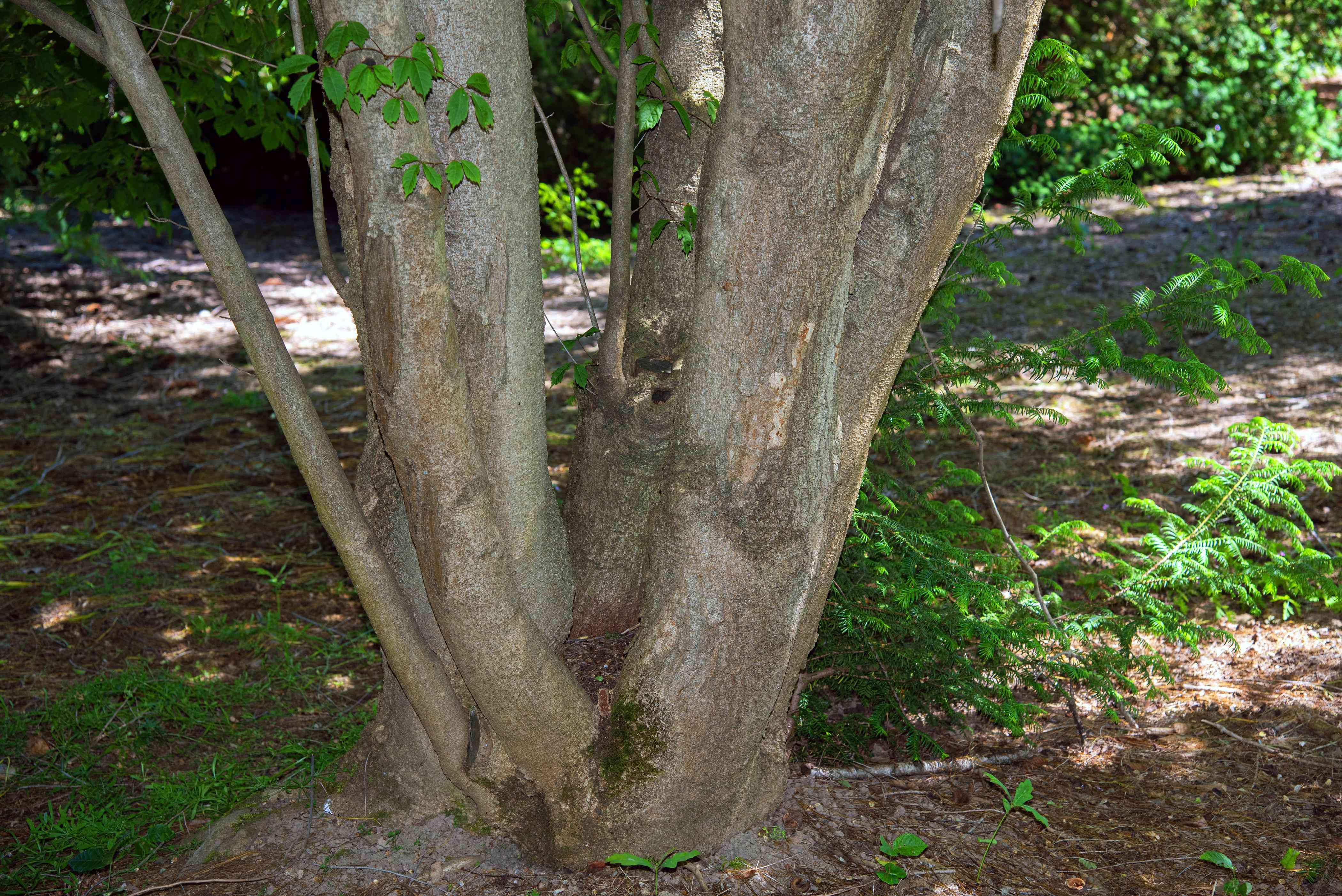 Vine leaf maple tree trunk closeup