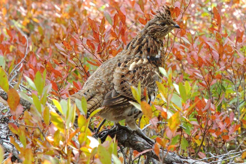 Ruffed Grouse, the state bird of Oklahoma, in fall foliage.