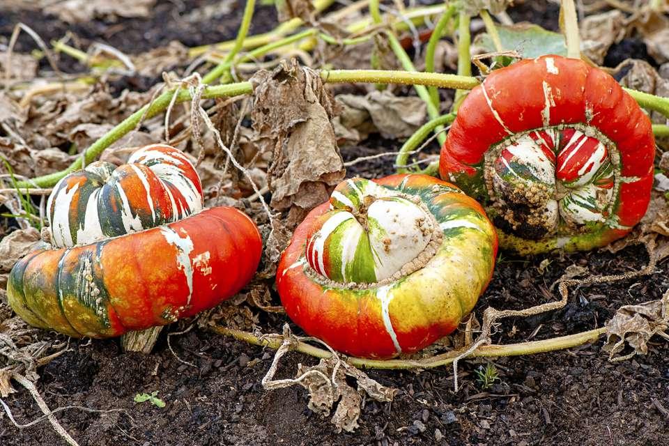 """Turk's turban"" or ""French turban"" winter squash, heirloom cultivar of Cucurbita maxima."