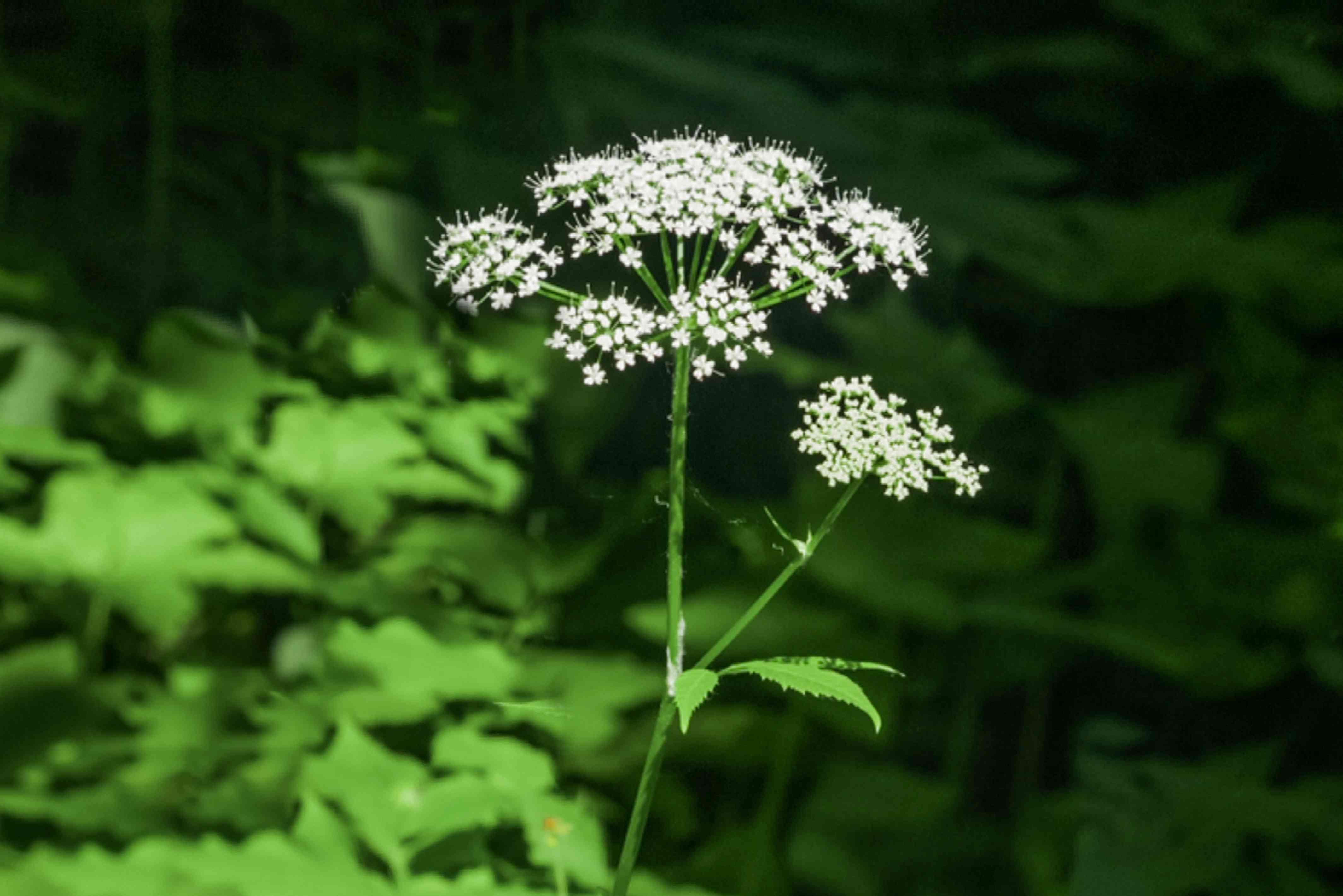 Bishop's weed plant with small white flower umbels on single stem