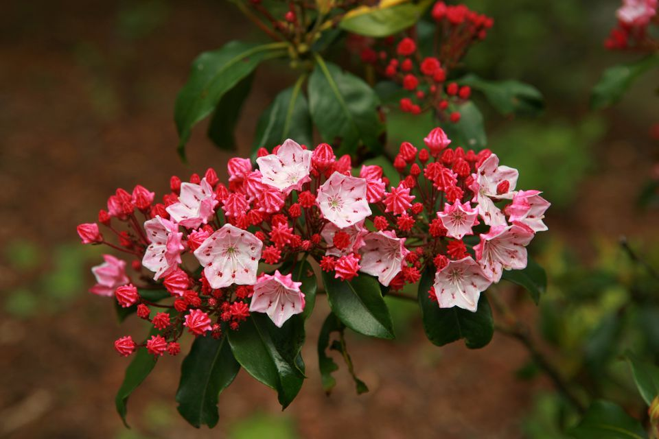 Mountain Laurel Plants in flower