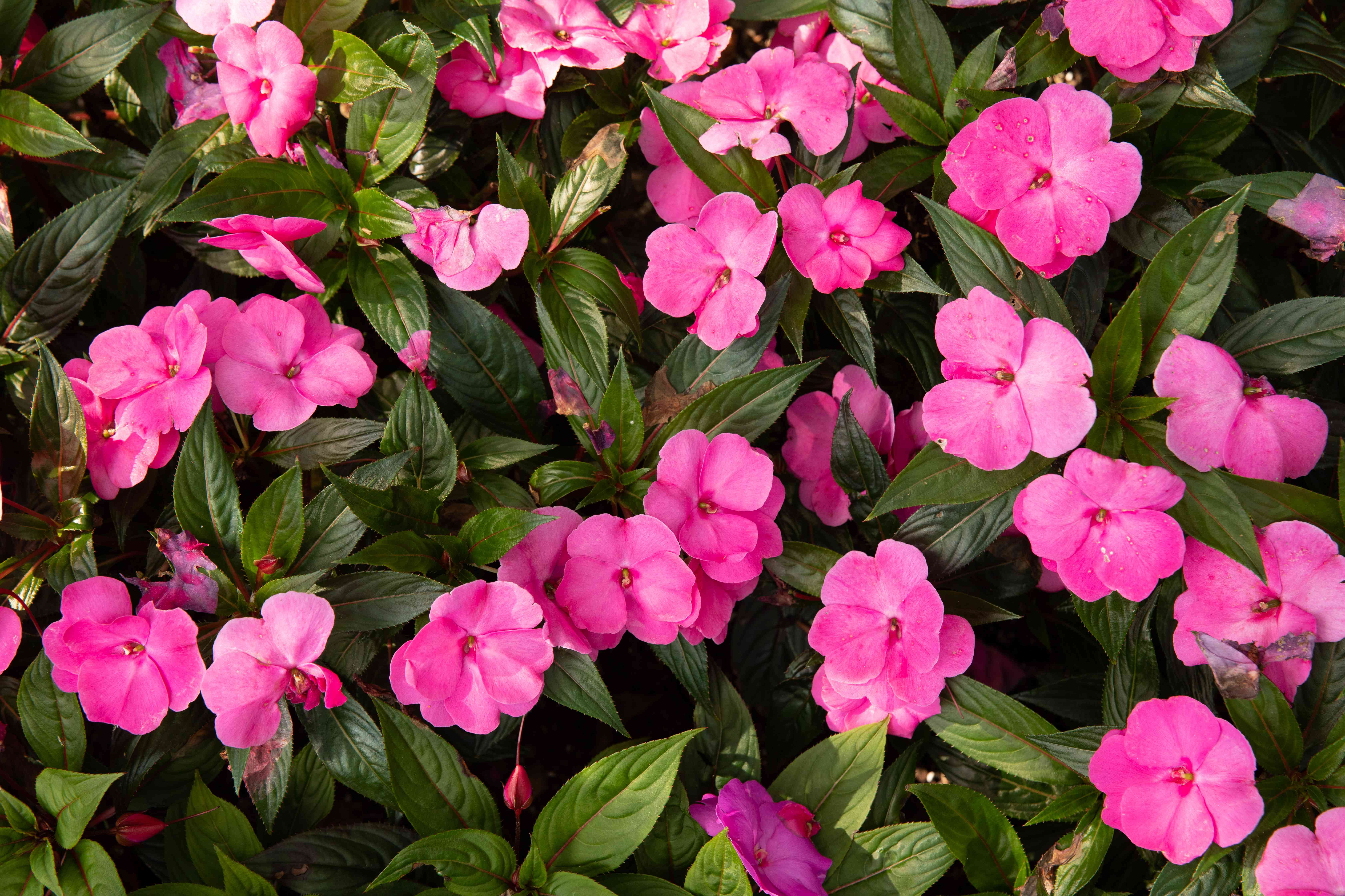 Impatiens plant with dark green leaves surrounding bright pink flowers