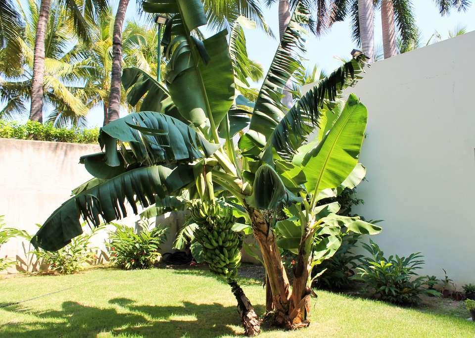 musa banana tree in a garden
