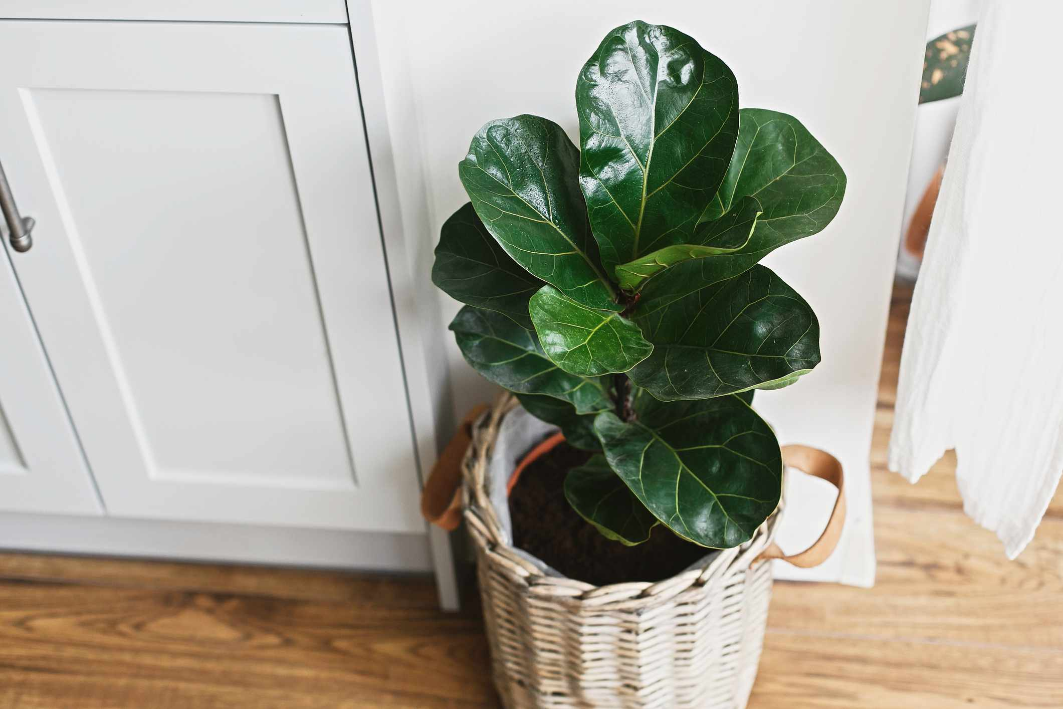 Big fiddle leaf fig tree in stylish modern pot near kitchen furniture. Ficus lyrata leaves, stylish plant on wooden floor in kitchen. Floral decor in modern home
