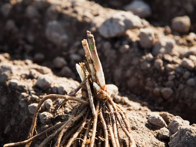 Transplanting Asparagus