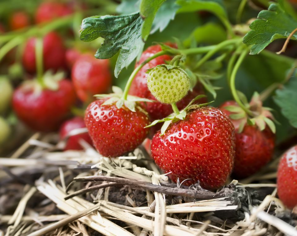 Close-up of fresh strawberries on the vine