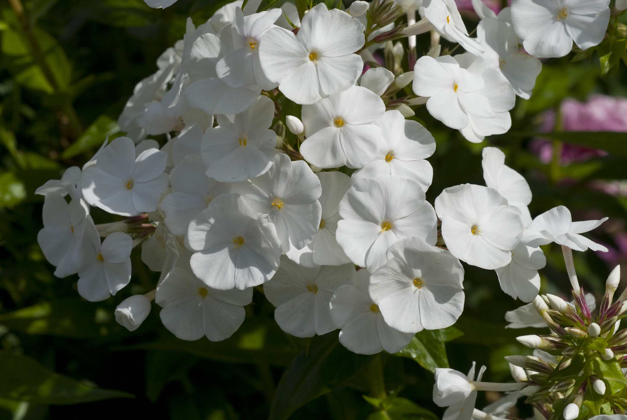 Close-up of white flower head of 'David' phlox.