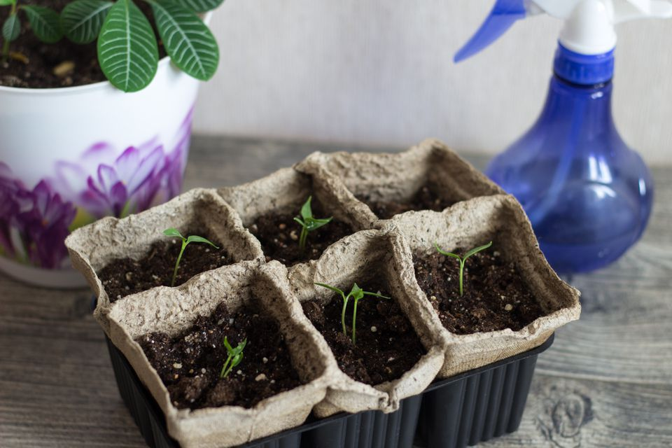 Seedlings in a small container