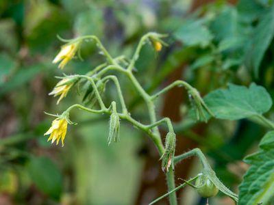 closeup of tomato blossoms