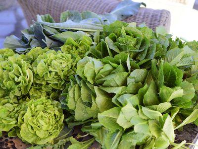 Varieties of butterhead lettuce