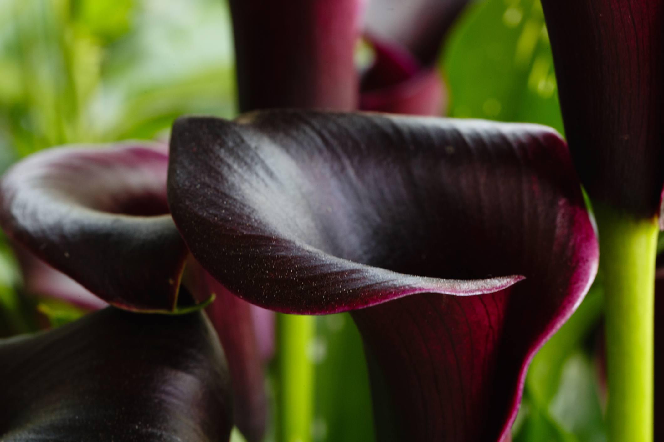 9 black flowers to add drama to your garden black calla lily izmirmasajfo