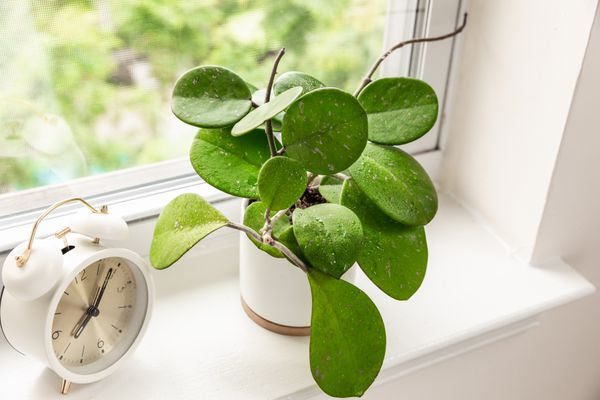 Hoya obovata semi-succulent plant with large oval leaves and tendrils in white pot near window