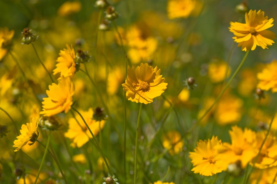 Coreopsis nana with yellow flowers in field with sunlight