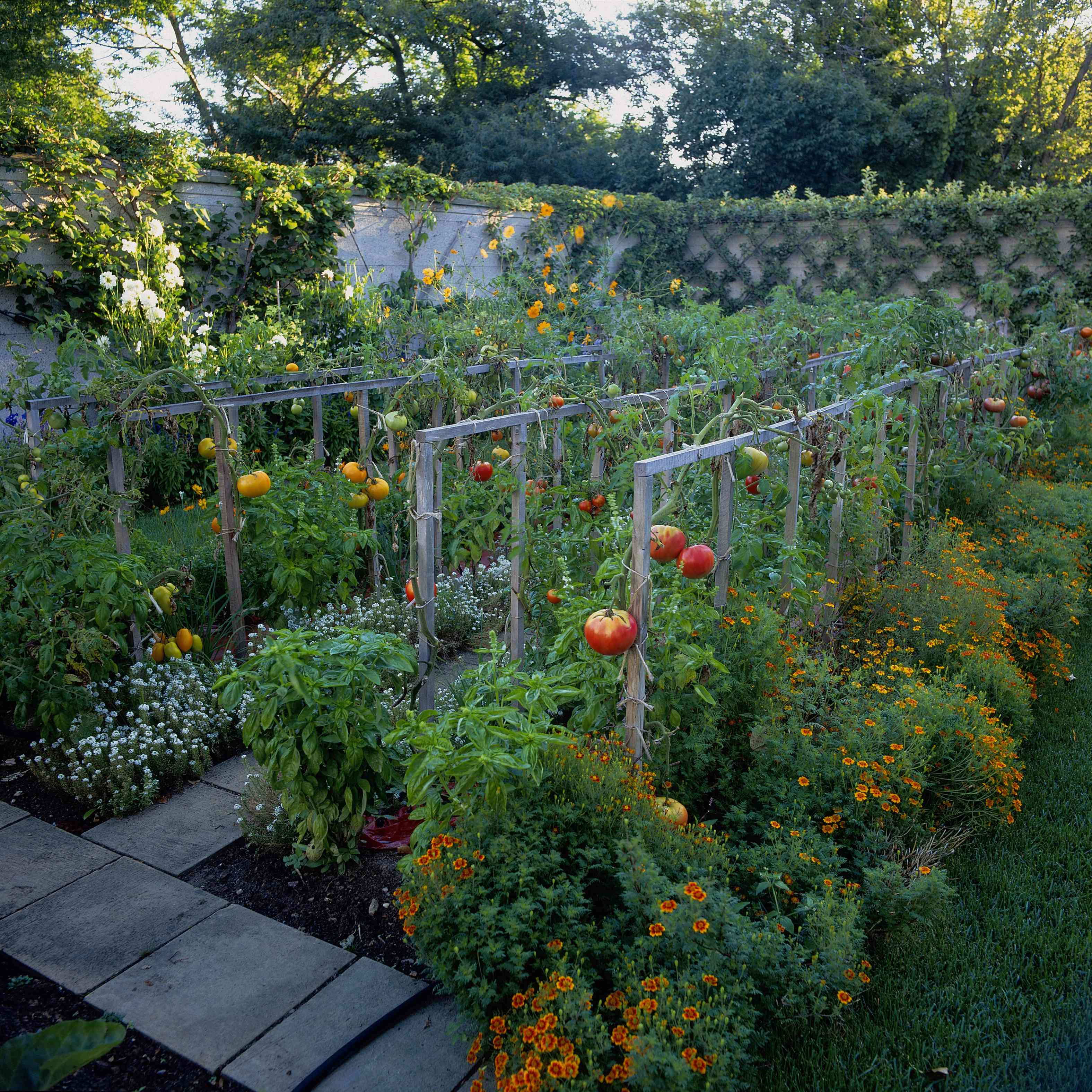 Huerta con tomates (Solanum lycopersicum) plantada con caléndula (Tagetes) y albahaca (Ocimum basilicum), Washington, CT, EE. UU.
