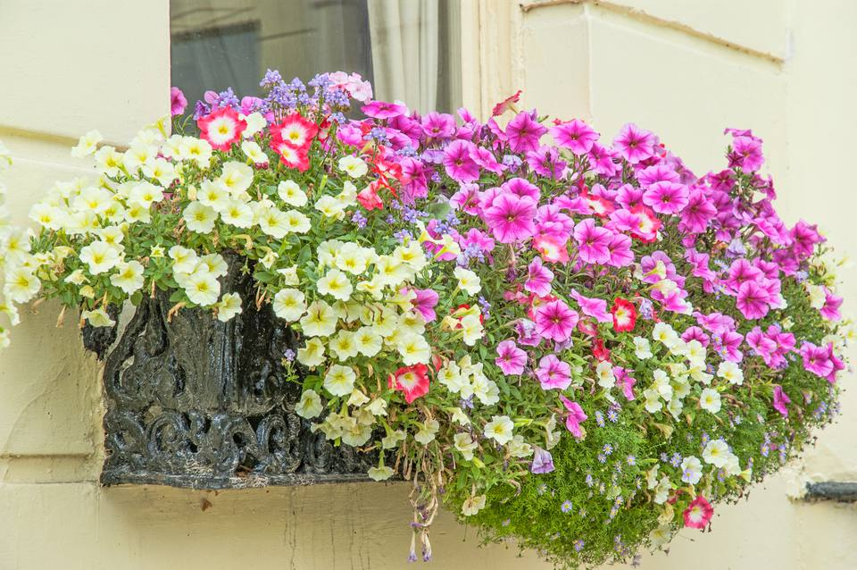 Petunias in a window box