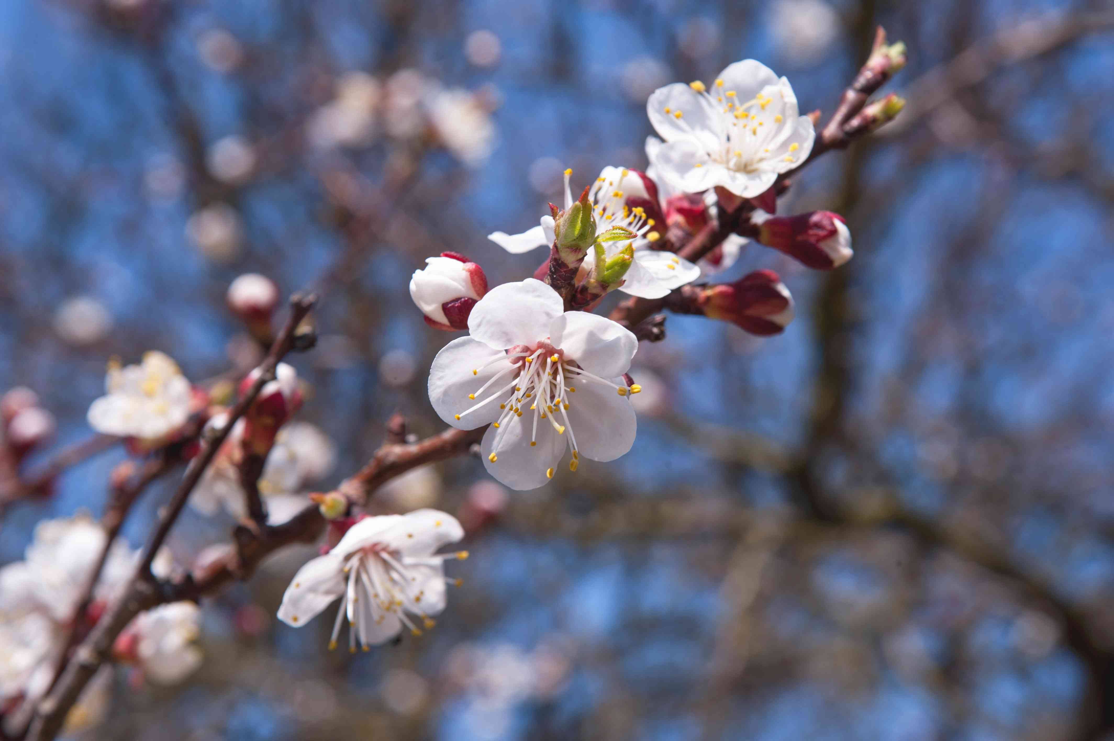 Almond tree branches with white flowers and buds in dark pink casing closeup