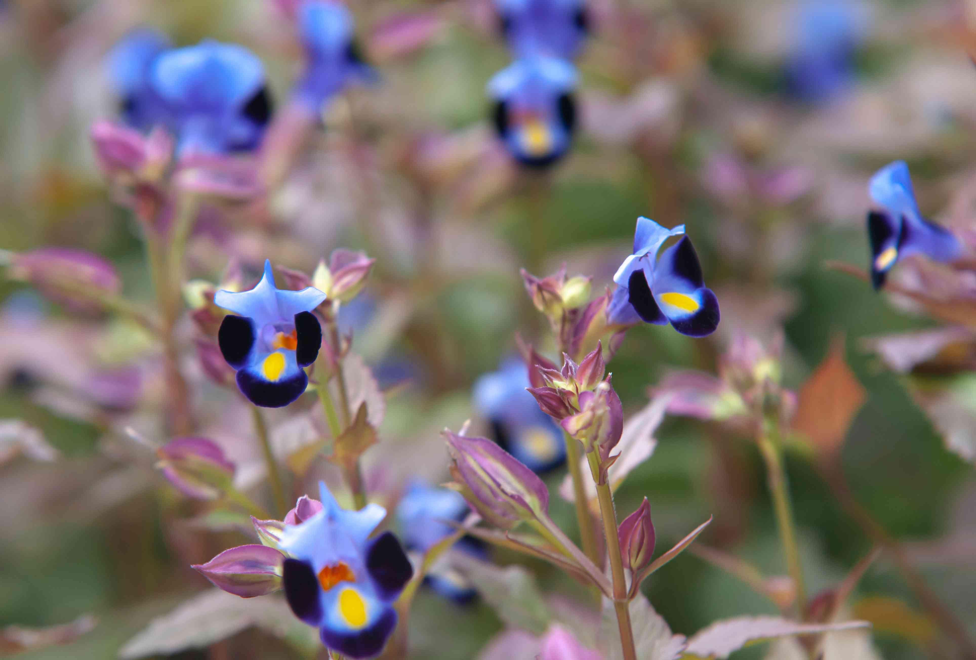 closeup of torenia flowers