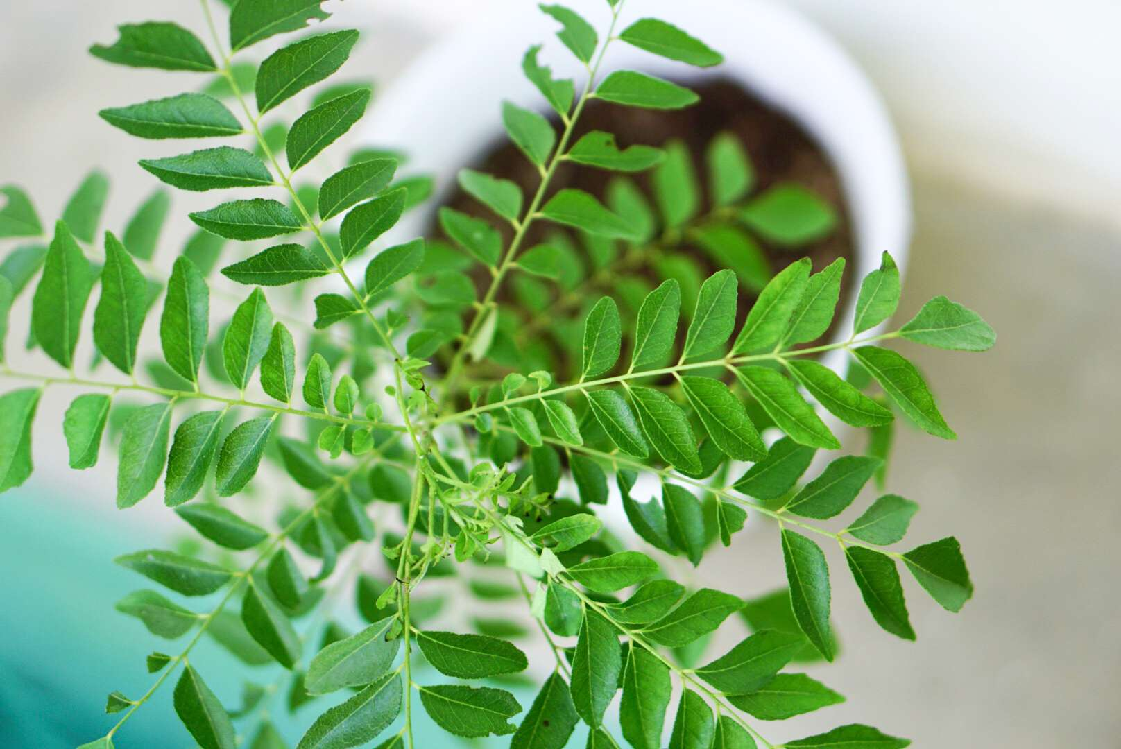 Curry tree plant with radiating branches and leaflets from above
