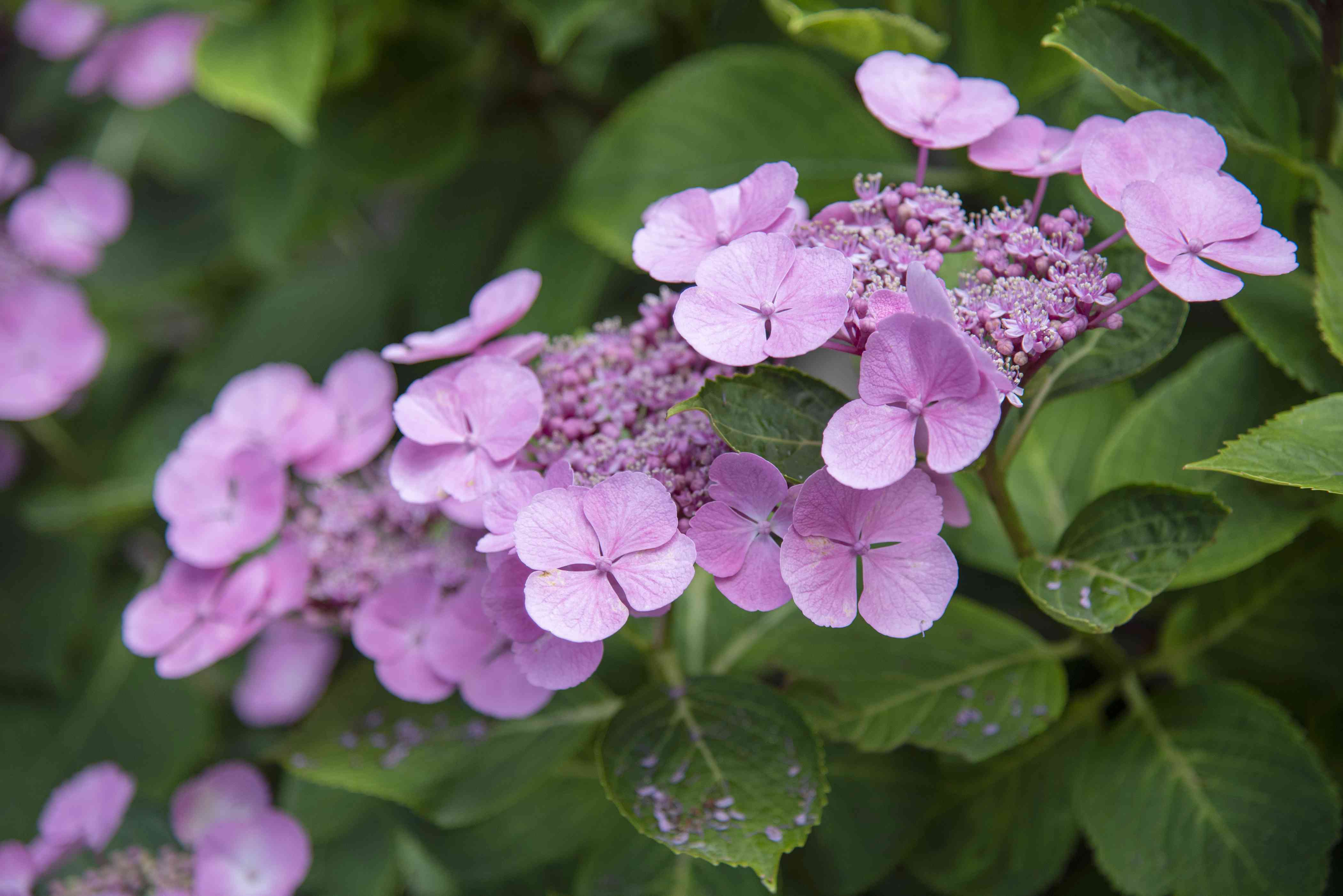 Lacecap hydrangea shrub branches with pink flashy petals clustered together closeup