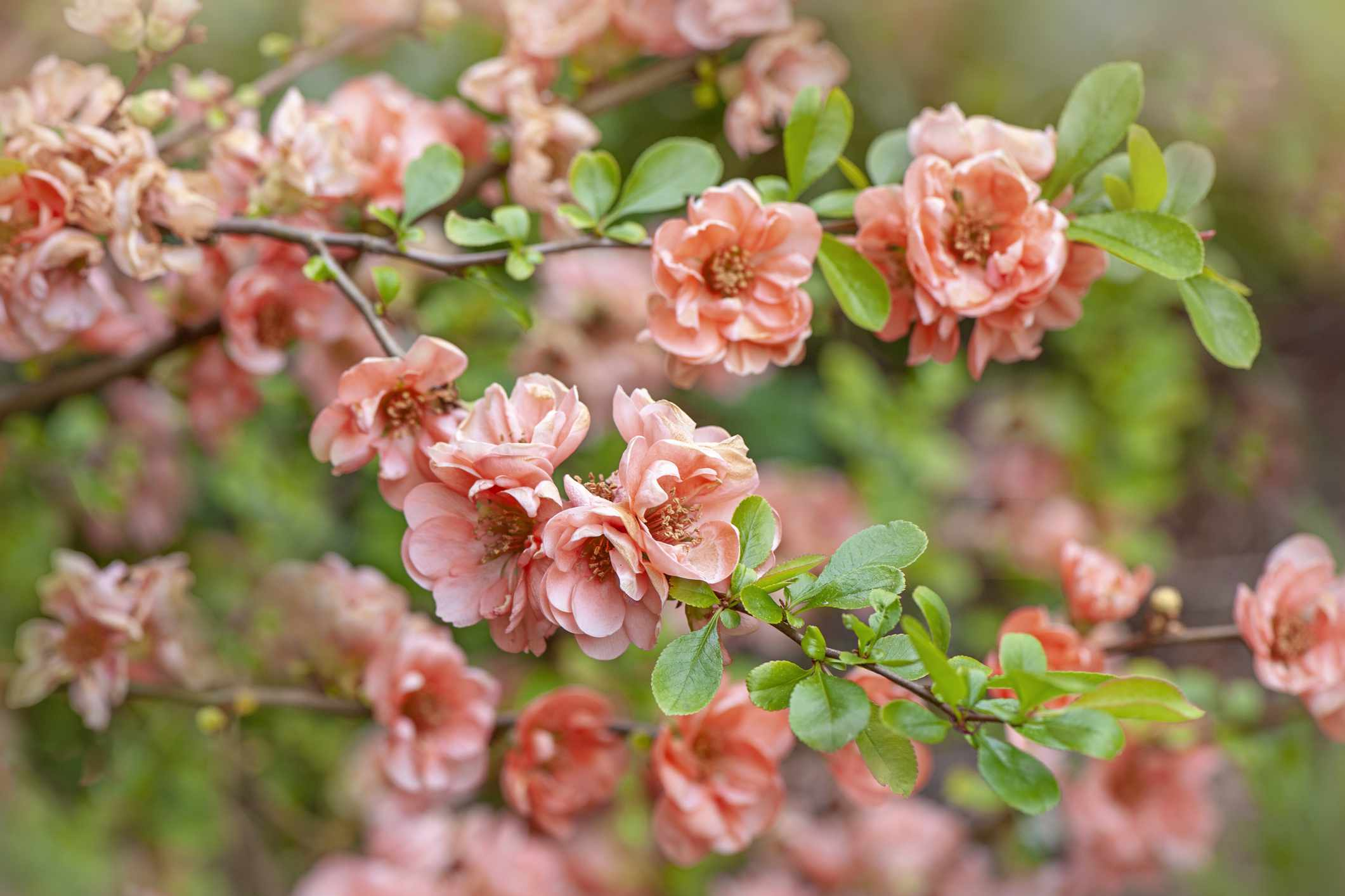 flowering Japanese quince flowers
