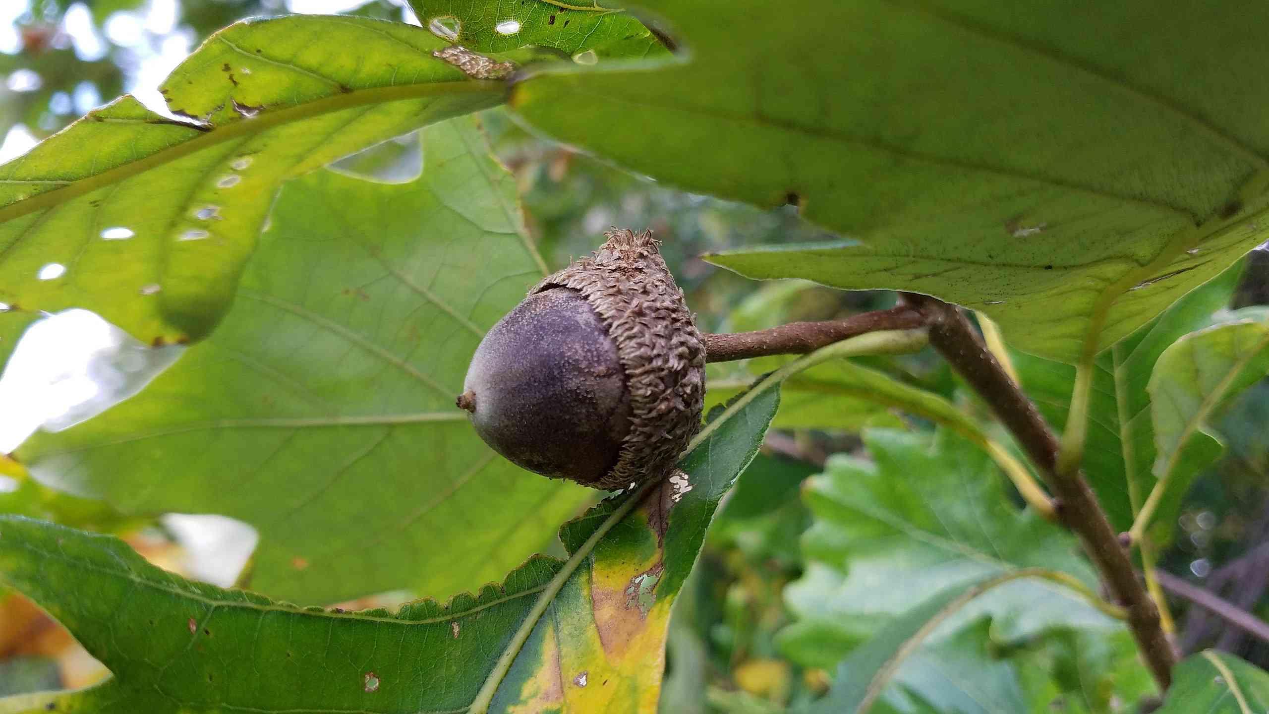 Acorns of swamp white oak