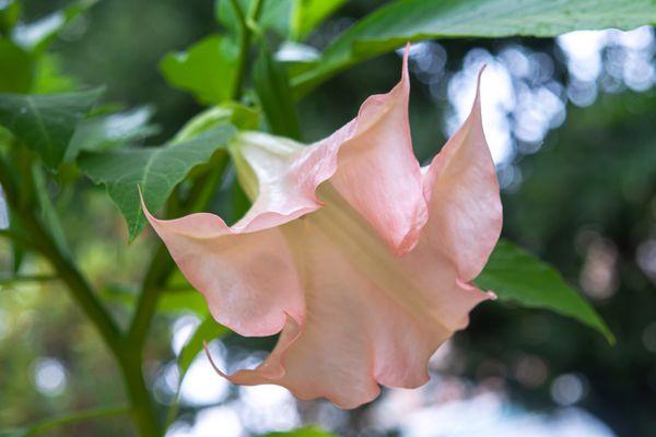 Angel's trumpet bush with fragrant light pink flower closeup