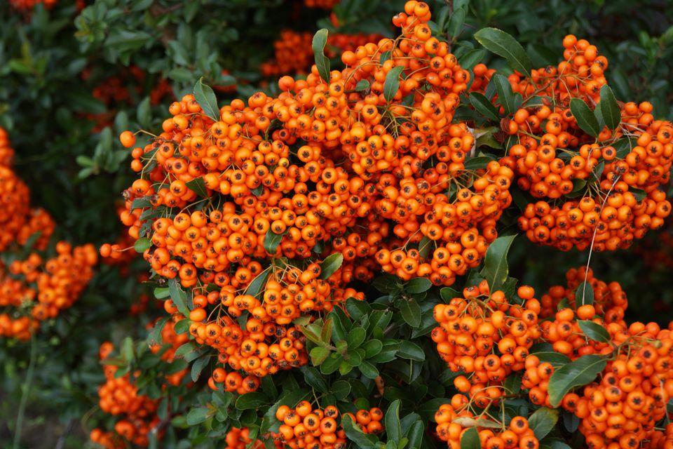 firethorn shrub