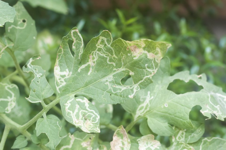 Larval leafminer damage to a tomato leaf