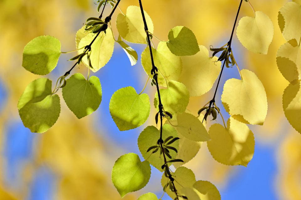 Katsura tree with green and yellow leaves.