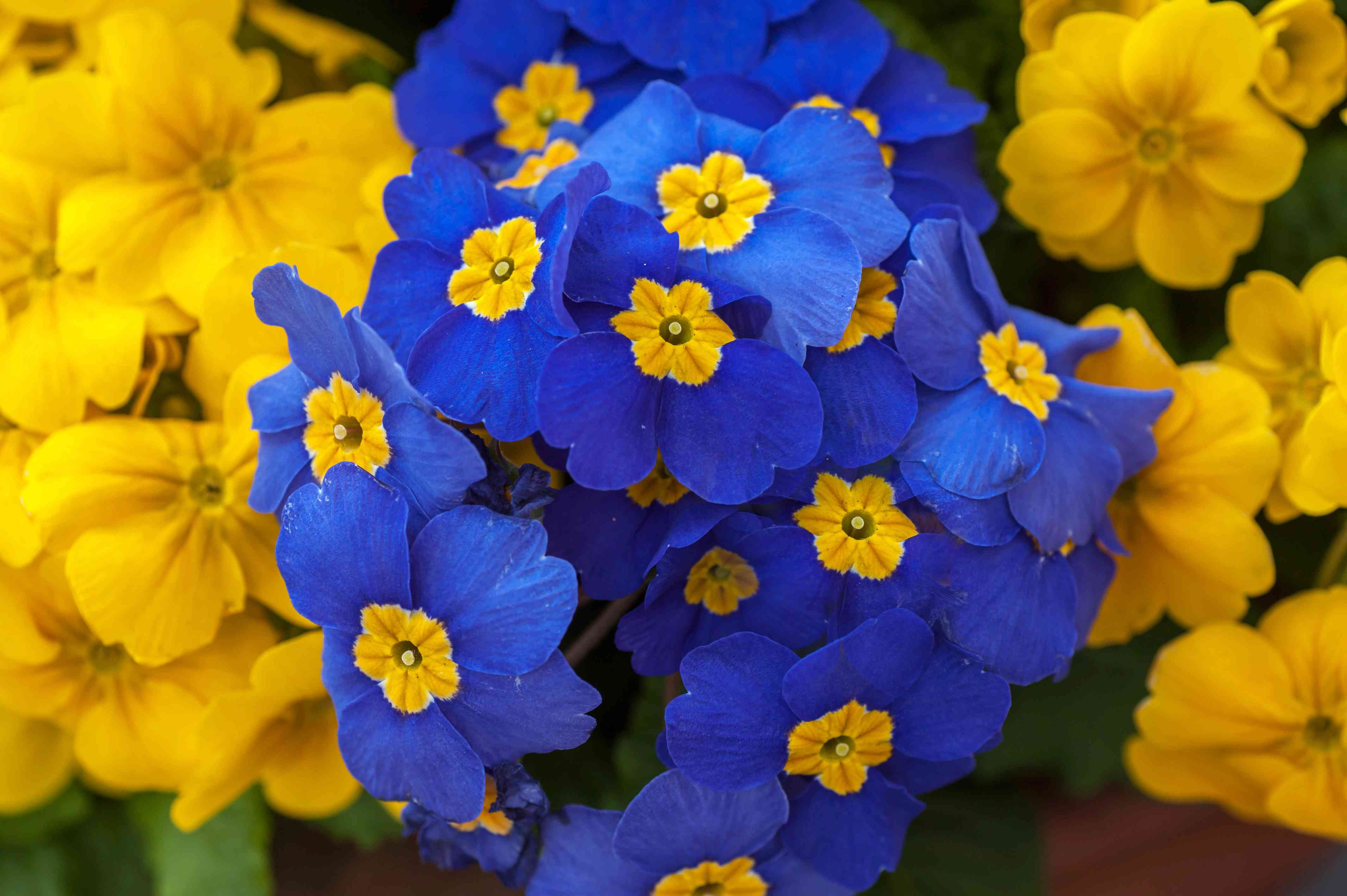 closeup of primroses