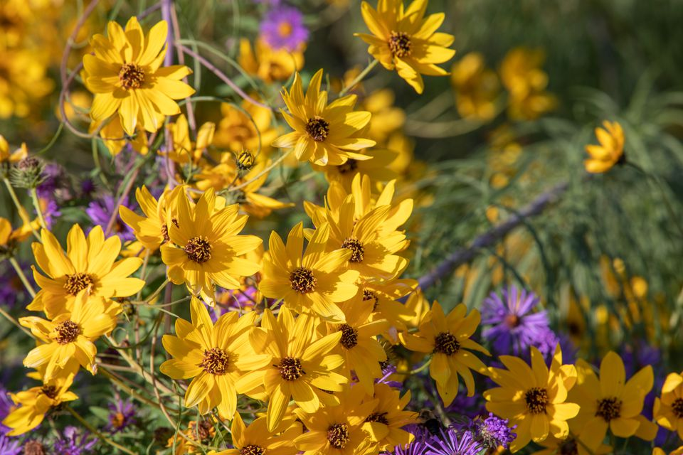coreopsis are ideal rock garden candidates