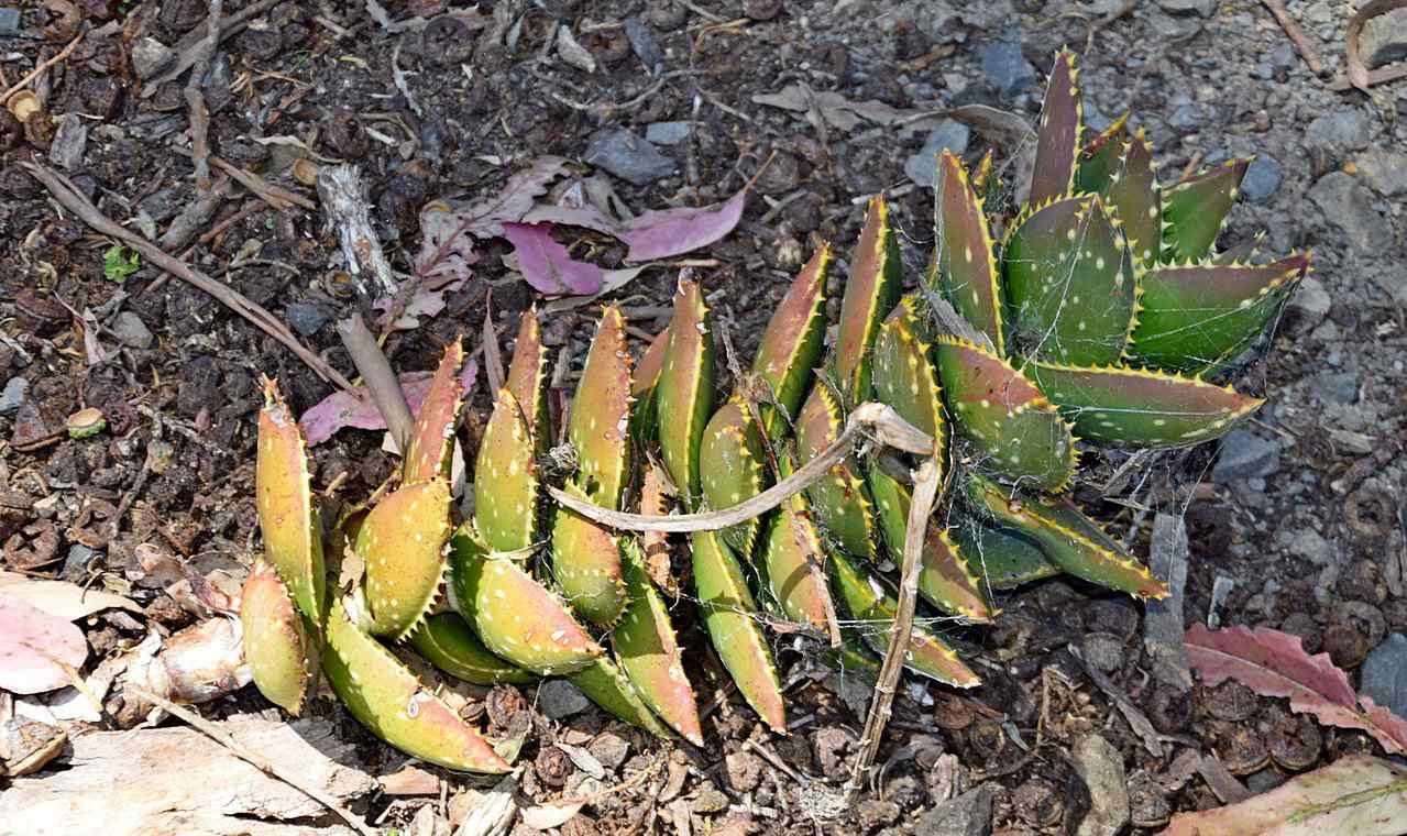 Jewel Aloe Plant on bark chips