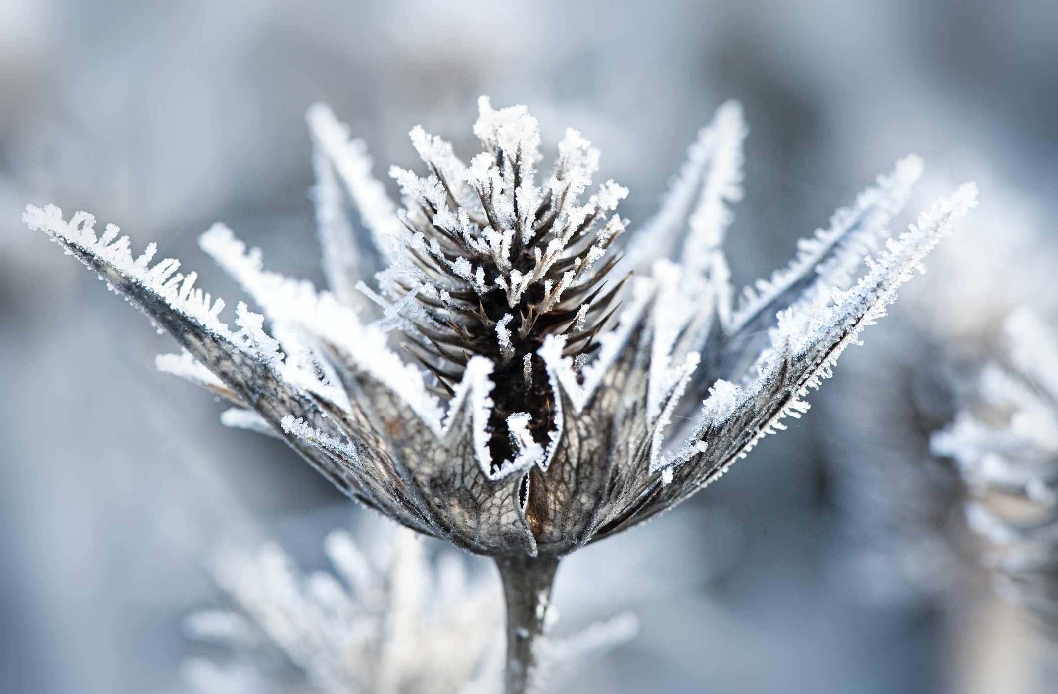 Giant sea holly also known as 'silver ghost'