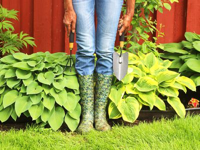 Hosta Gardening