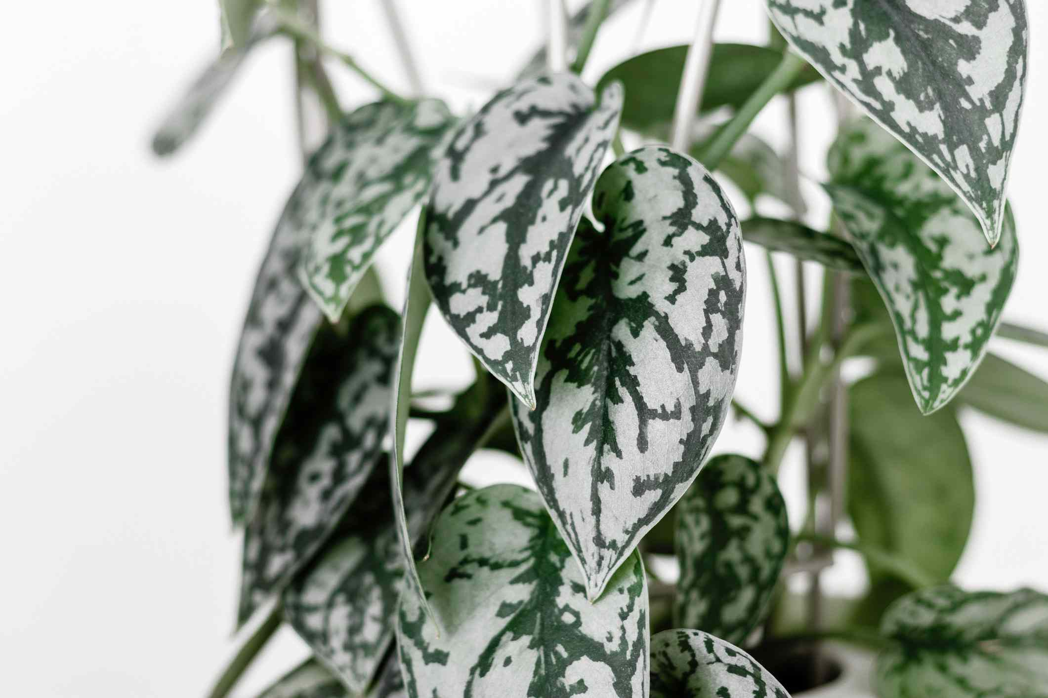 A satin pothos (Scindapsus pictus 'Exotica') close up shot of the leaves.
