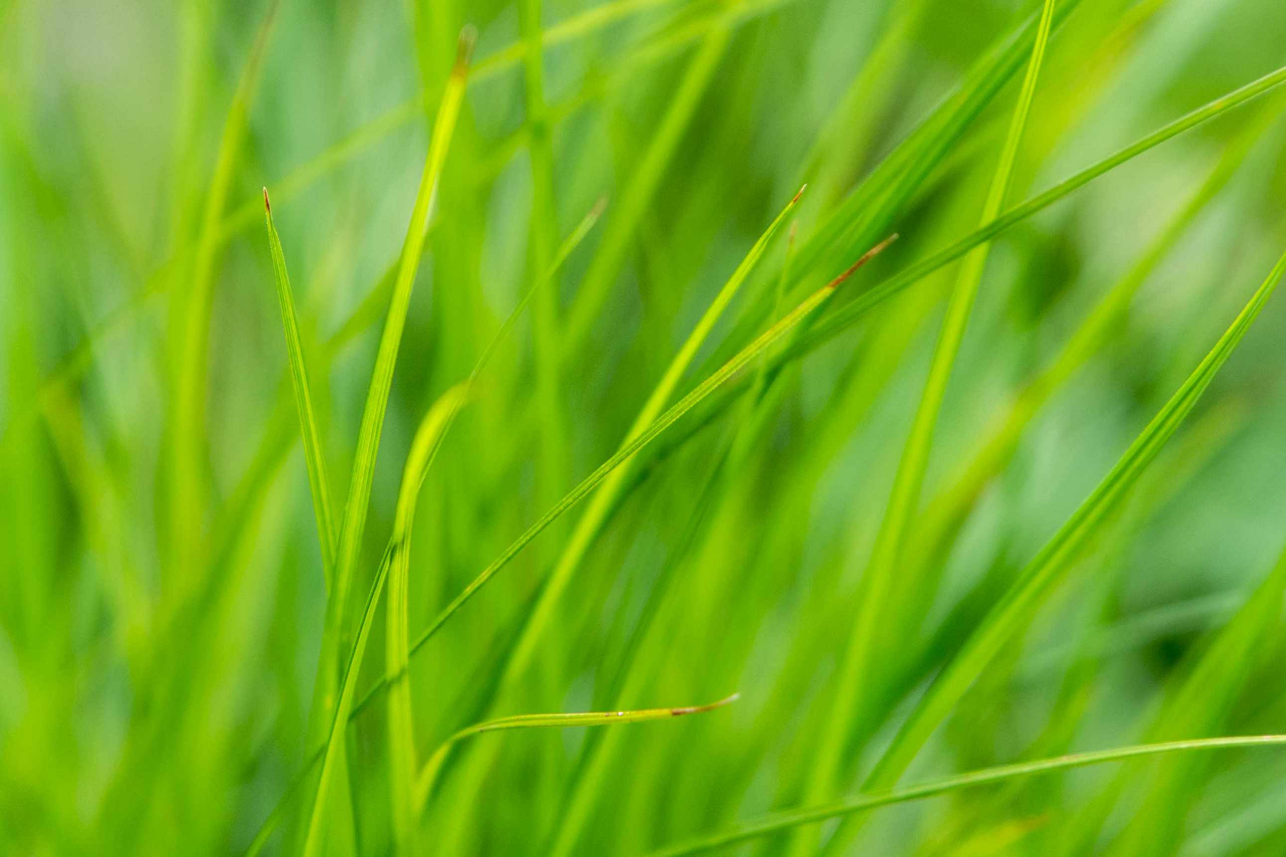 Tussock sedge thin grass-like leaf blades closeup