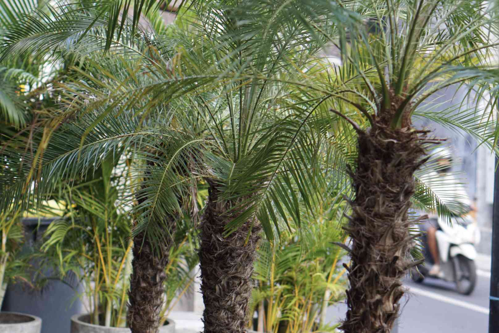 Robellini palm trees with a spiky trunk and sprawling fronds lined next to each other